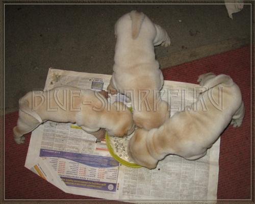 Глисты у кошек и котов (нематоды, бычий и огуречный цепень